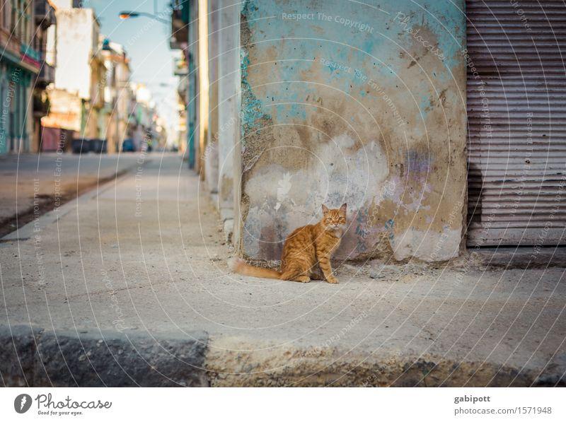 kubanische Katze Ferien & Urlaub & Reisen Farbe Tier Straße Wand Mauer Tourismus Fassade einzigartig beobachten Vergänglichkeit Wandel & Veränderung