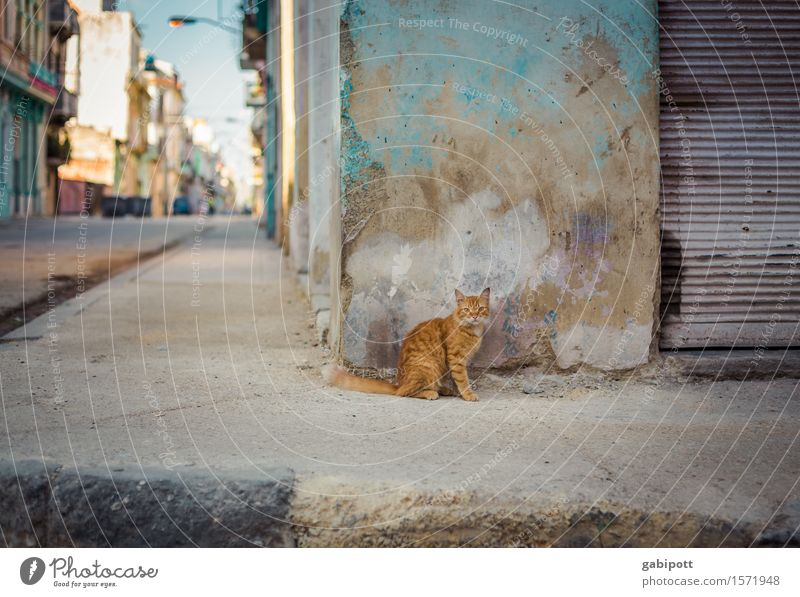 kubanische Katze Havanna Kuba Hauptstadt Stadtzentrum Altstadt Mauer Wand Fassade Tier Haustier Nutztier 1 beobachten mehrfarbig Sympathie einzigartig