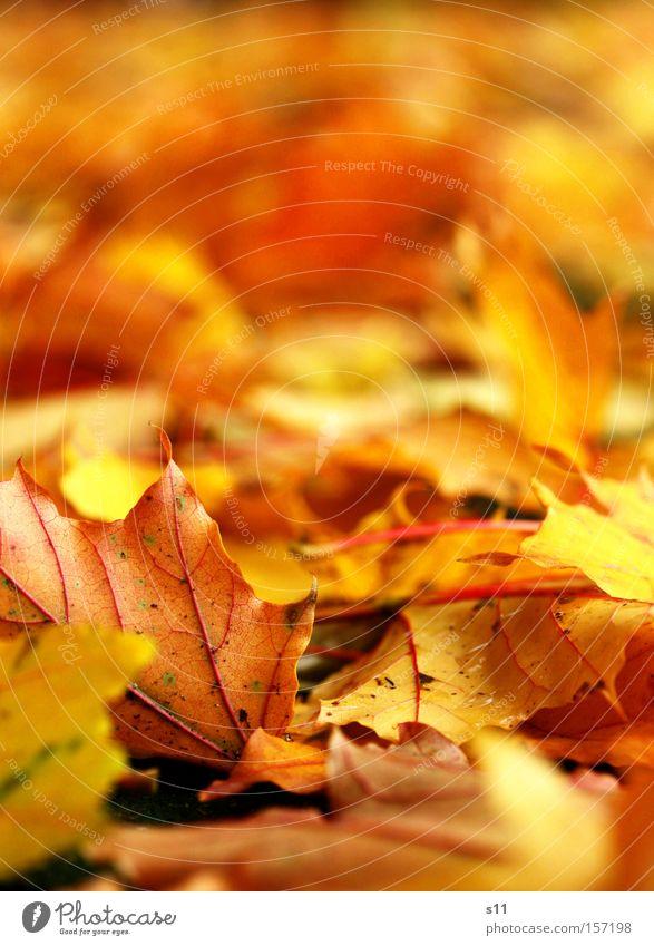 Goldige Erinnerungen Herbst Blatt Jahreszeiten Gefäße gelb Teppich Baum Ahornblatt Licht Makroaufnahme Nahaufnahme Bodenbelag gold Spitze