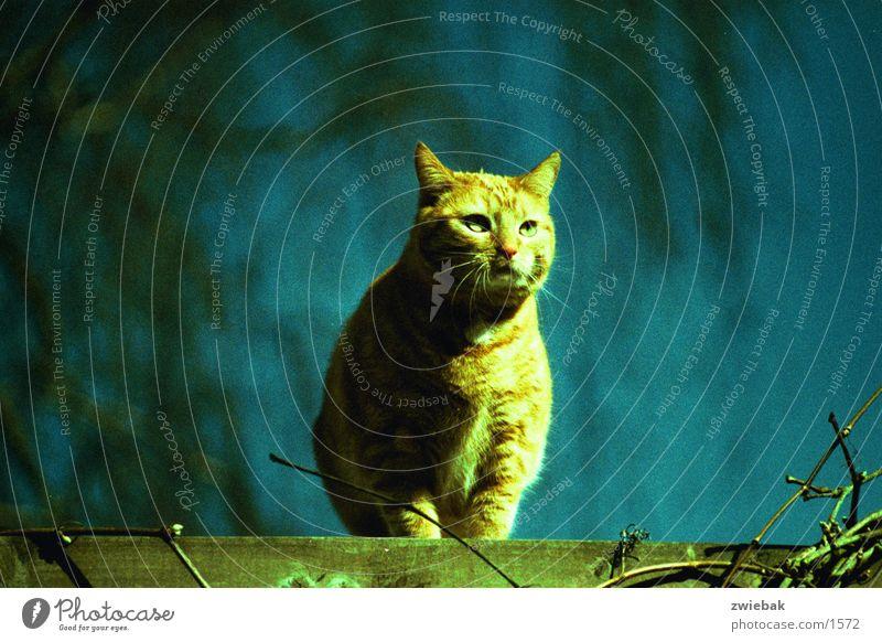 Scratchy Katze Verkehr Crossbelichtung Nahaufnahme