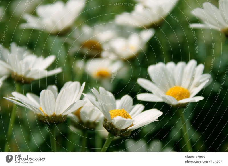 Frühblüh Natur weiß Blume grün Sommer Blüte Frühling frisch Blühend Erwartung Margerite Blütenblatt