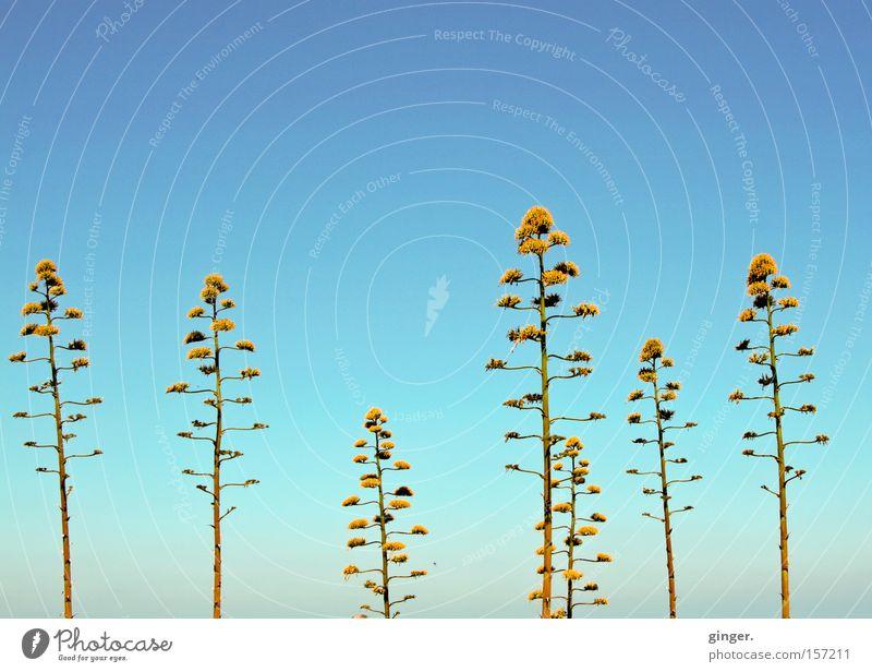 Pümpel Sommer Natur Pflanze Himmel Wärme Blüte Blühend Wachstum hoch blau Agave grün-gelb Verlauf verzweigt Blauer Himmel Wolkenloser Himmel Textfreiraum oben