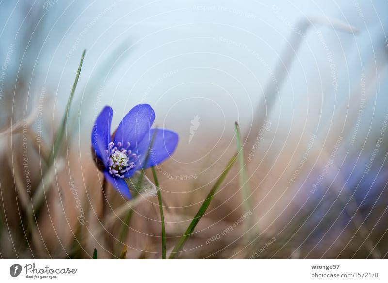 Frühlingserwachen Natur Pflanze Schönes Wetter Leberblümchen Frühblüher Frühlingsblume Wald schön blau braun grün Blüte Blütenpflanze Waldboden Makroaufnahme