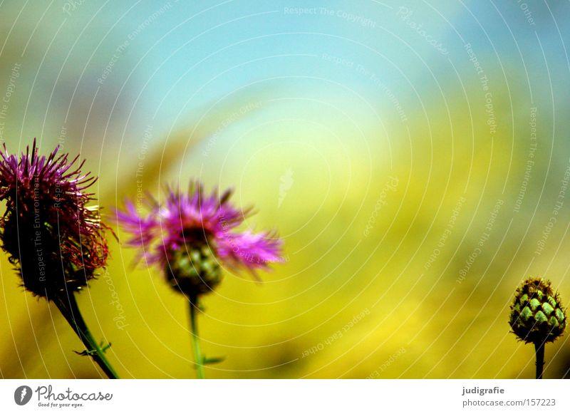 Wiese Natur schön Himmel Blume Pflanze Sommer Farbe Gras Umwelt Wachstum Blüte mehrfarbig Blütenknospen Wiesenblume Wiesenflockenblume