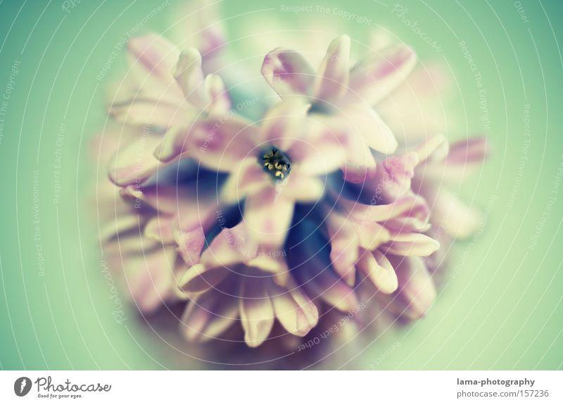 Flower Power Hyazinthe Blume Blüte Blühend Frühling Blumenstrauß Valentinstag Fliederbusch rosa Blütenblatt Natur Makroaufnahme Nahaufnahme