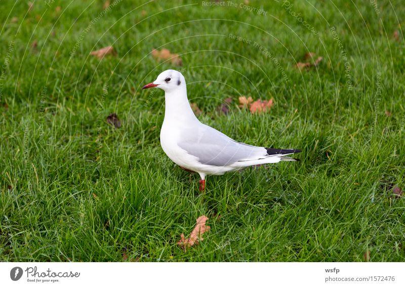 Weiße Taube auf einer grünen Wiese Tier Vogel weiß Taubenvogel Möwe Raubmöwe rasen Farbfoto