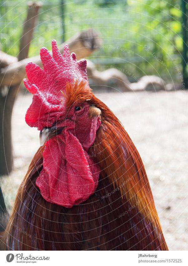 Stolzer Hahn mit bösem Blick Tier Haustier Nutztier Wildtier Tiergesicht Flügel Zoo 1 Brunft beobachten Jagd kämpfen Konflikt & Streit Aggression ästhetisch