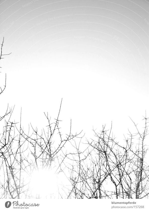 Dornen Himmel Sonne kalt Sträucher Ast Zweig