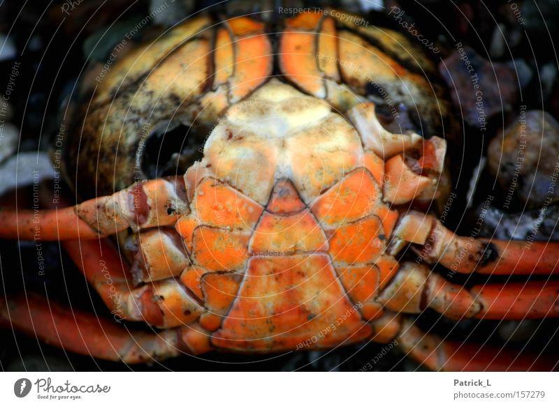gestrandet Kontrast hilflos orange Ostsee Wasser Tier Krebstier Vergänglichkeit Tod Trauer Verzweiflung Winter Mitgefühl Traurigkeit