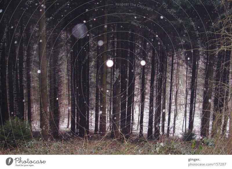 Hänsel & Gretel (Winterwald) weiß Baum Wald kalt Schnee Schneefall braun wandern kahl Nadelbaum