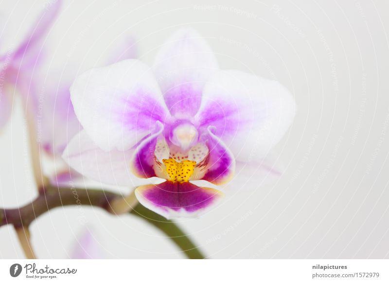 Bluete einer Orchidee elegant exotisch schön Spa Sommer Dekoration & Verzierung Feste & Feiern Valentinstag Hochzeit Natur Pflanze Frühling Schönes Wetter Blume