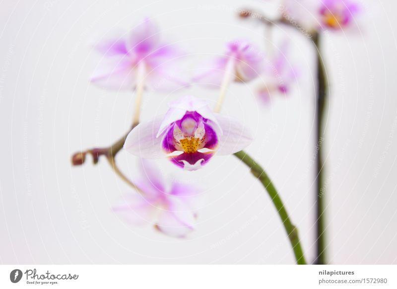 Orchidee Natur Pflanze schön Sommer weiß Blume Blatt ruhig Umwelt Blüte Frühling Hintergrundbild Stil Gesundheit Garten Feste & Feiern