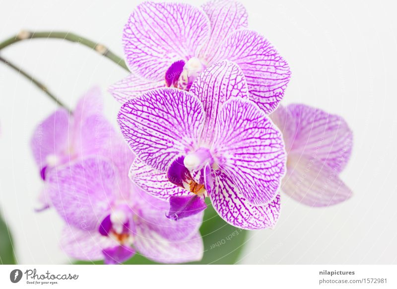 Orchideen vor einem weissen Hintergrund Natur Pflanze schön Sommer weiß Blume Blatt Umwelt Blüte Frühling Hintergrundbild Stil Kunst Garten Feste & Feiern rosa