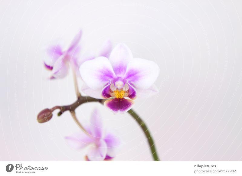 Orchideenbluete elegant Stil Design exotisch schön Gesundheit Wellness ruhig Spa Sommer Dekoration & Verzierung Feste & Feiern Valentinstag Hochzeit Kunst