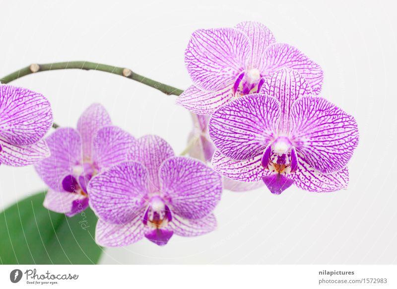 Phalaneopsis Blueten Natur Pflanze schön Sommer weiß Blume Blatt Umwelt Blüte Frühling Hintergrundbild Stil Gesundheit Lifestyle Feste & Feiern rosa