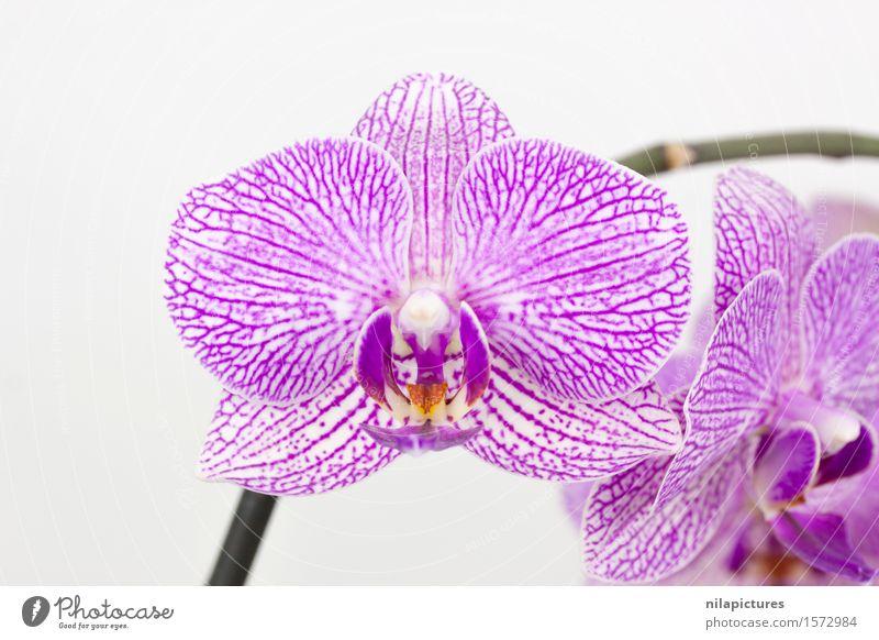 Phalaenopsis violett weiß gesprenkelt elegant exotisch schön Spa Sommer Dekoration & Verzierung Feste & Feiern Valentinstag Hochzeit Umwelt Natur Pflanze