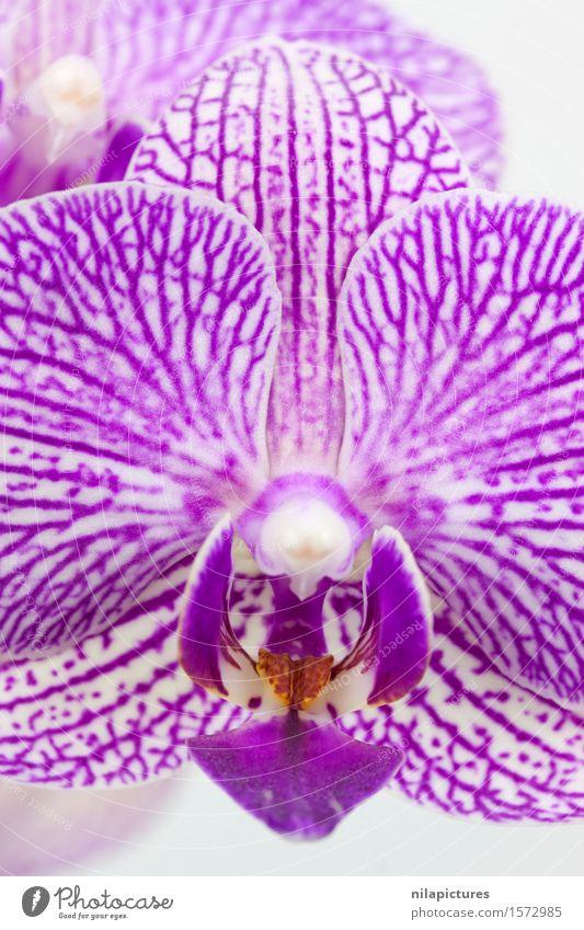 Phalaenopsis Bluete Macro Lifestyle elegant Stil Design exotisch schön Spa Sommer Dekoration & Verzierung Feste & Feiern Valentinstag Hochzeit Natur Pflanze