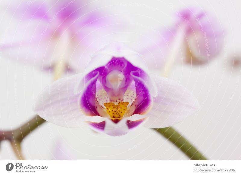 Rosa Orchidee Natur Pflanze schön Sommer Farbe weiß Blume Blatt Freude Umwelt Blüte Frühling Hintergrundbild Garten Feste & Feiern rosa