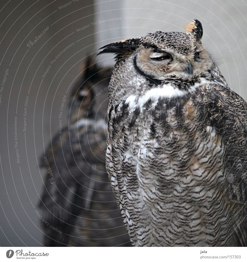 Bubo Uhu Eulenvögel Vogel Tier Feder Gesichtsausdruck Ausdruck klug grau braun Natur Europa