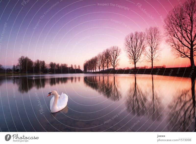 Seele Natur Landschaft Wasser Himmel Winter Schönes Wetter Park Schwan 2 Tier Tierpaar Schwimmen & Baden elegant schön violett orange schwarz weiß Erholung