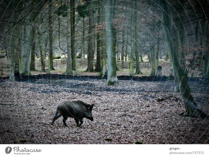 Das Schwein haut ab ! grün Baum Tier Blatt Wald dunkel Herbst braun Wildtier wild laufen Fell Baumstamm Herbstlaub Säugetier