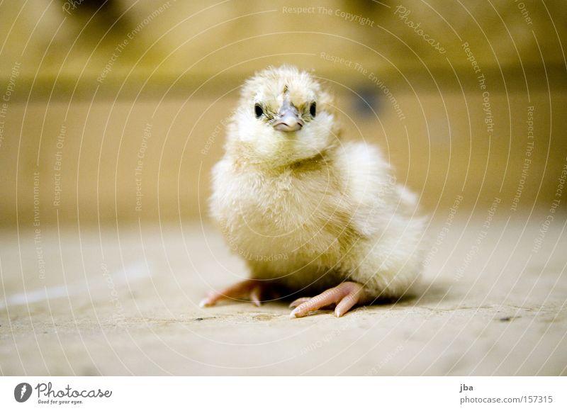 Küken gelb Vogel Kindheit sitzen frisch stehen Haushuhn Nachkommen Tier Hobelbank tollpatschig neugeboren Brutpflege Gelege