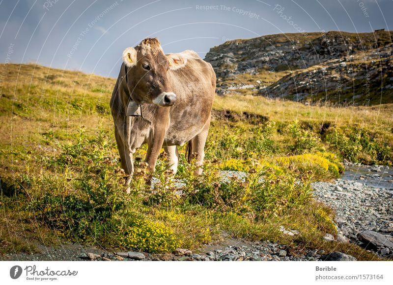 Alpen Kuh Ernährung Bioprodukte Milch Ausflug Sommer Berge u. Gebirge wandern Landwirtschaft Forstwirtschaft Umwelt Natur Landschaft Herbst Tier Nutztier 1