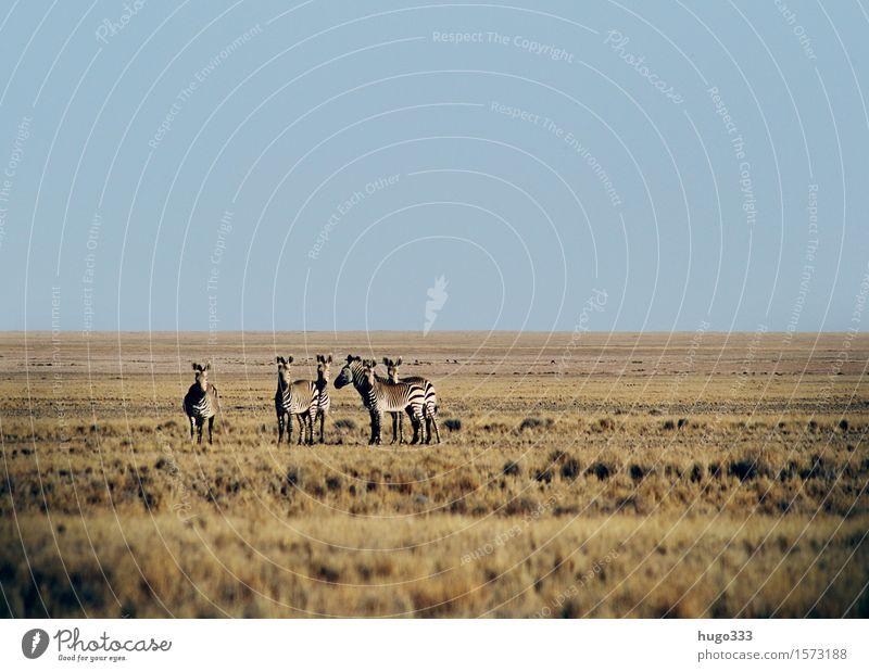 Die Beobachter exotisch Tier Wildtier Zebra 4 Tiergruppe Herde Tierfamilie beobachten Blick Wüste Afrika Ebene Panorama (Aussicht) Safari Farbfoto Außenaufnahme