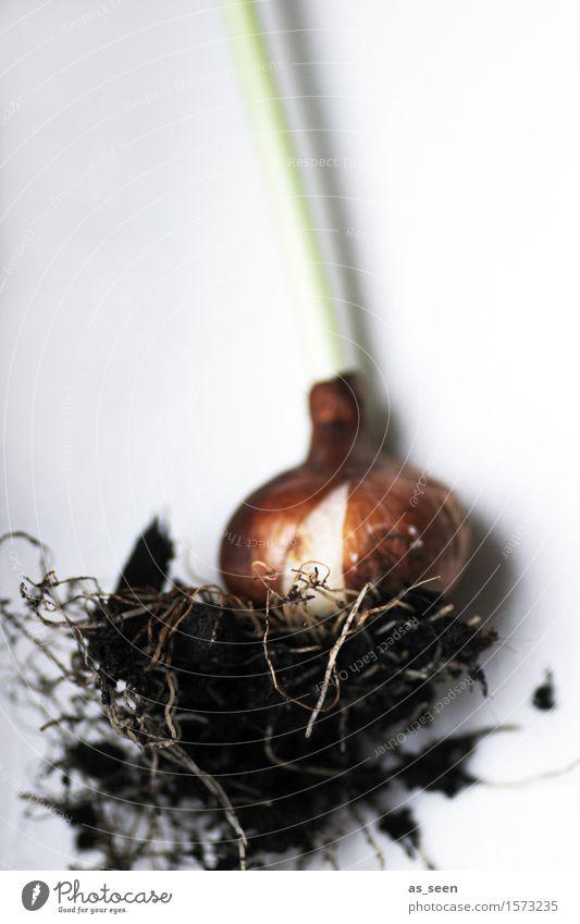 Pflanzzeit harmonisch Sinnesorgane Garten Umwelt Natur Urelemente Erde Frühling Sommer Klima Pflanze Blume Tulpe Pflanzenteile Stengel Knolle Zwiebel