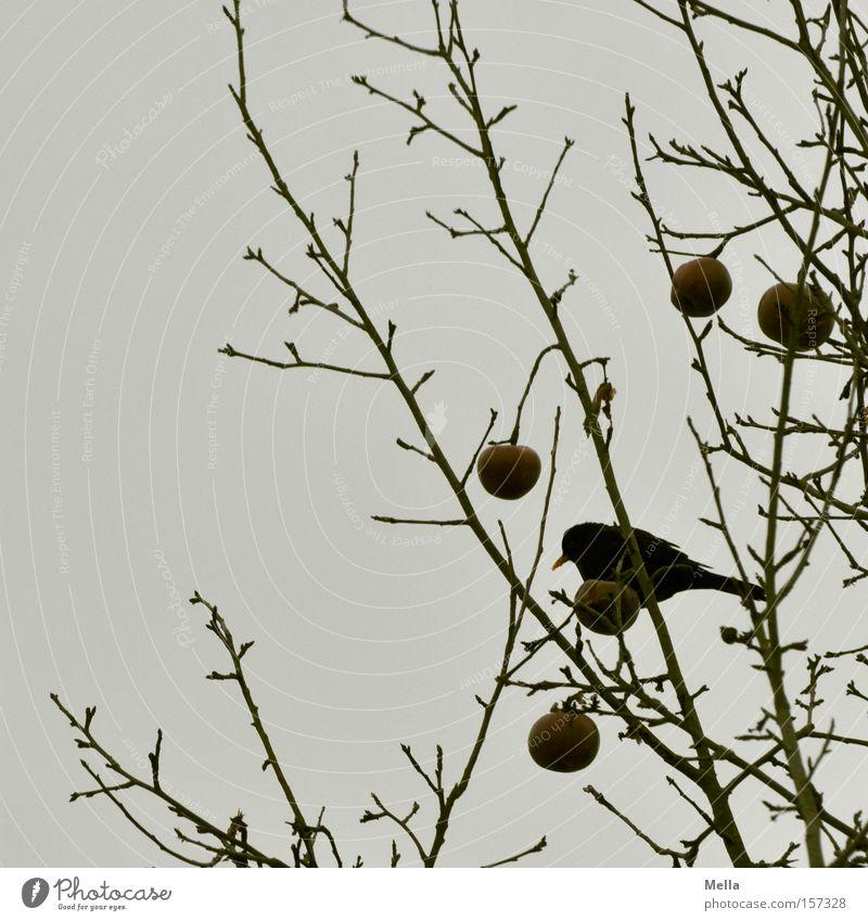 Hunger II Frucht Apfel Winter Baum Vogel Fressen trist grau Amsel Drossel Ast Zweig Geäst Futter trüb Farbfoto Gedeckte Farben Dämmerung Tag