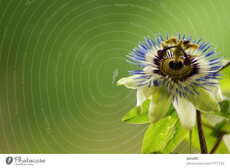 Passionsfruit Passionsblume Leidenschaft Blume violett Blüte Blütenknospen Sommer Pflanze grün Gras Wiese ruhig Glück schön außergewöhnlich