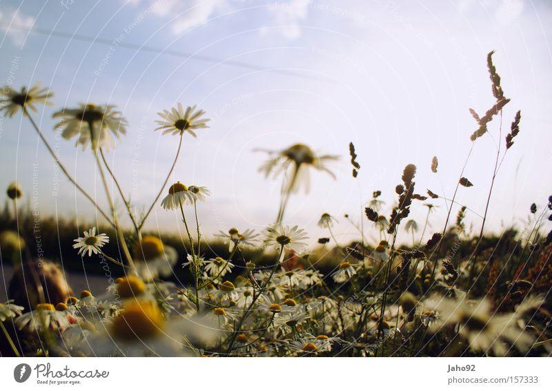 Kamille im Sommer Blume Blütenknospen Glück Frühling Freude verrückt Verzweiflung hervorrufen Verwechslung verwurzelt verziert verkehrt Himmel Pflanze