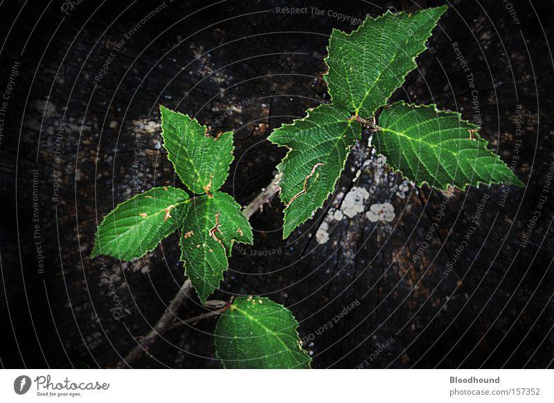 Zahn der Zeit Natur alt Baum grün Pflanze Blatt schwarz Tier Umwelt Traurigkeit Trauer trist trocken Verzweiflung stachelig Baumrinde