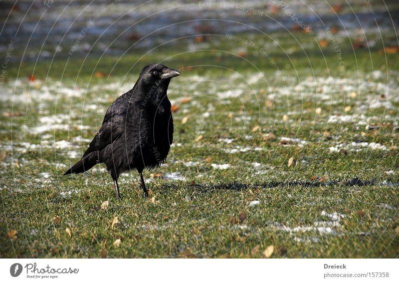 sehen und gesehen werden Vogel Gras gefiedert Schnabel schwarz dunkel Natur Krähe Rabenvögel Aasfresser Rasen Wiese Tier Blick grimmig Garten Park Deutschland