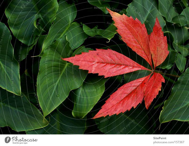 Wein trifft Calla grün rot Blatt Herbst Park Weinblatt