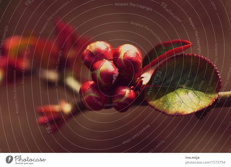 Erwachen Natur Pflanze schön rot Blatt Umwelt Frühling natürlich feminin Garten Park elegant ästhetisch rund nah Blütenknospen