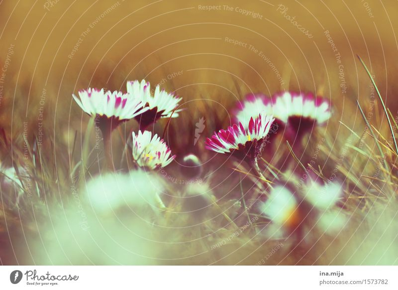 Blumengänse Natur Pflanze Sommer Umwelt Frühling Wiese Gras klein Garten Park wild frisch Blühend Duft Umweltschutz