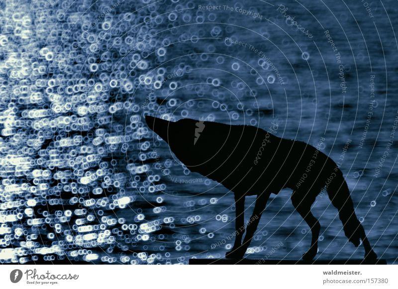 Böser Wolf Wasser blau Einsamkeit Tier Hund Sehnsucht böse Säugetier Märchen Tierlaute Spiegellinsenobjektiv (Effekt)