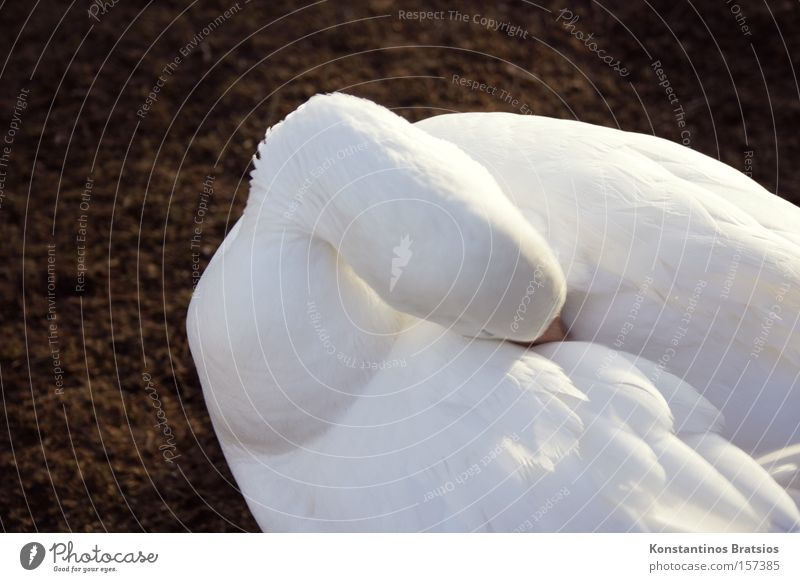 Gefiederpflege Farbfoto Außenaufnahme Tag Sonnenlicht Tierporträt schön Winter Schönes Wetter Vogel Reinigen weich weiß Reinlichkeit Sauberkeit Schneegans Gans