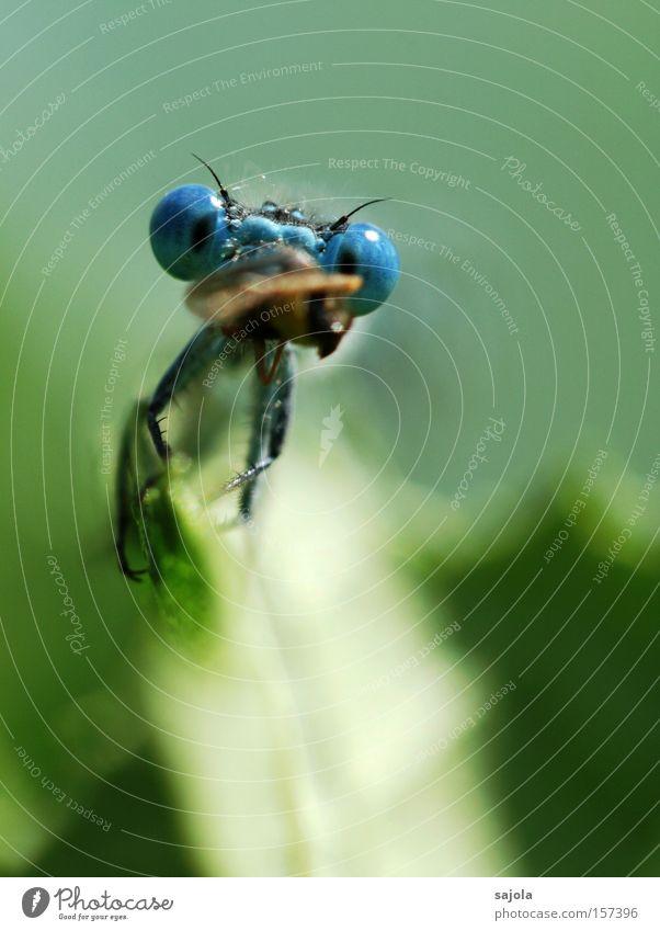 den mund zu voll genommen blau Blatt Auge Ernährung Tier Kopf Insekt Fressen Libelle Beute Hochformat Facettenauge Klein Libelle