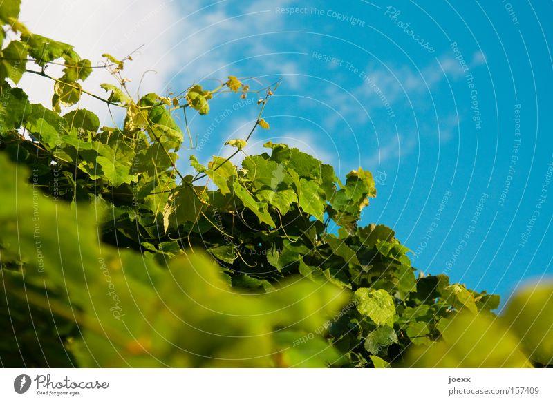 Wein, wild blau grün Himmel Klettern Natur Pflanze Ranke Sträucher Weinblatt echte weinrebe himmelsblick in vino veritas