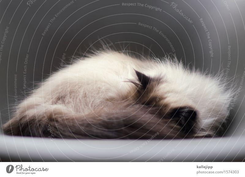 heute hab ich einen kater! Tier Haustier Katze Fell schlafen Müdigkeit Trägheit bequem Stuhl Grube Ohr Hauskatze grau gemütlich ruhig Erholung Tierporträt