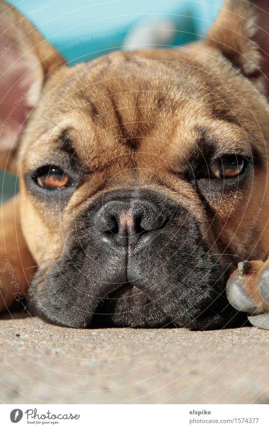 Puh! Hund ruhig Tier gelb braun Stimmung liegen Coolness Hautfalten Fell türkis Haustier Pfote beige gleich bequem