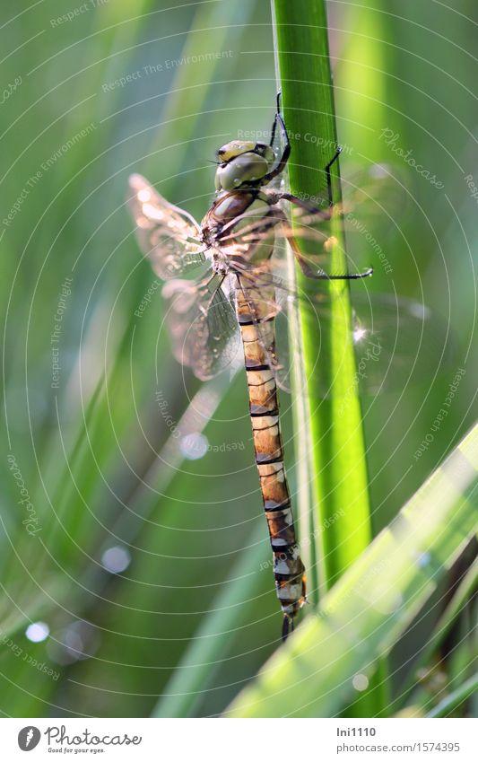 Mosaikjungfer Pflanze Tier Sonne Sonnenlicht Sommer Schönes Wetter Seeufer Moor Sumpf Teich Bach Wildtier Flügel Libelle außergewöhnlich natürlich blau braun