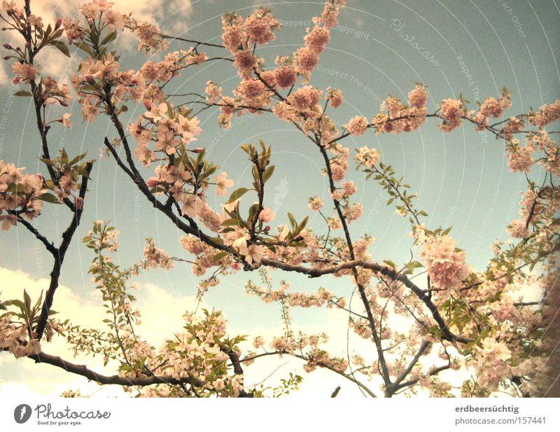 Verblasste Frühlingserinnerung Himmel Baum blau Wolken Blüte rosa frisch bleich Vorfreude Pastellton