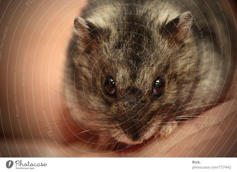 .evil Hamster Hand Auge Tier Haare & Frisuren glänzend klein Sicherheit nah Tiergesicht Vertrauen Fell festhalten Freundlichkeit Fressen Säugetier