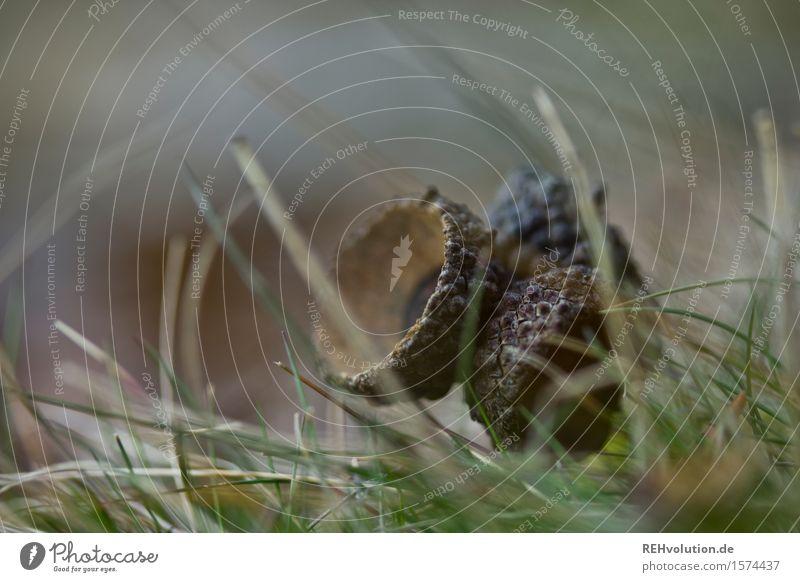 Eichelkappe Umwelt Natur Gras Grünpflanze Wald liegen dunkel natürlich Eicheln Farbfoto Außenaufnahme Nahaufnahme Detailaufnahme Makroaufnahme Tag Unschärfe
