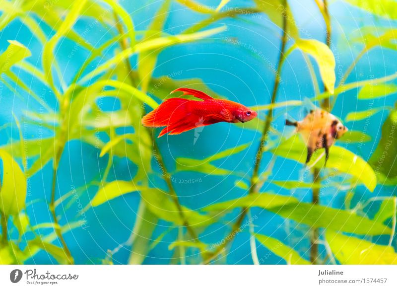 Aquarium-Hähnchen-Fisch im blauen Wasser Meer türkis Hahn Papagei Salz Skalar Apogon Rotfeuerfisch Goldfisch Farbfoto
