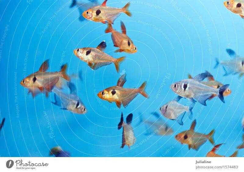 Aquariumfische im blauen Wasser Schwarm Tierfamilie türkis Fisch Zebrasom flavescens Aulonokara baenschi Cyphotilapie Frontosa Dascyllus Trimakulatus Melanurus