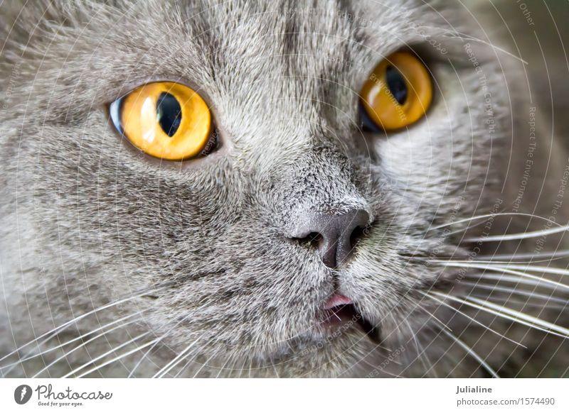 Katzenporträt mit gelben Augen Gesicht Tier Oberlippenbart Haustier Streifen (grau) blau) Säugetier Backenbart Koteletten Farbfoto
